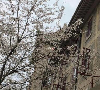 武汉大学赏樱预约限流首日:樱花盛放引客来