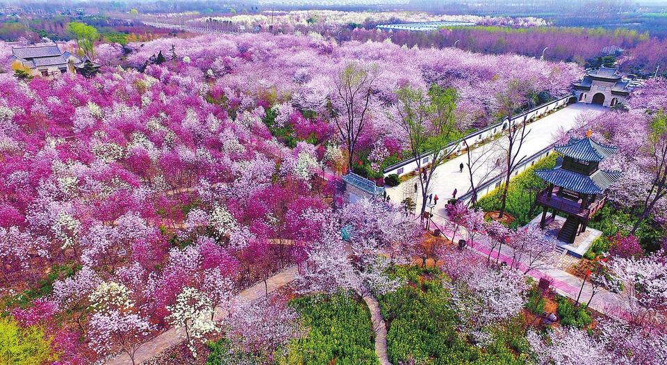鄢陵大力发展生态旅游业,唐韵园林万余棵樱花树进入盛花期,吸引了众多