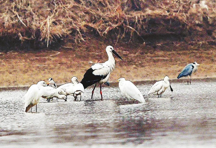 孟津县黄河湿地保护区内发现两只东方白鹳 ...