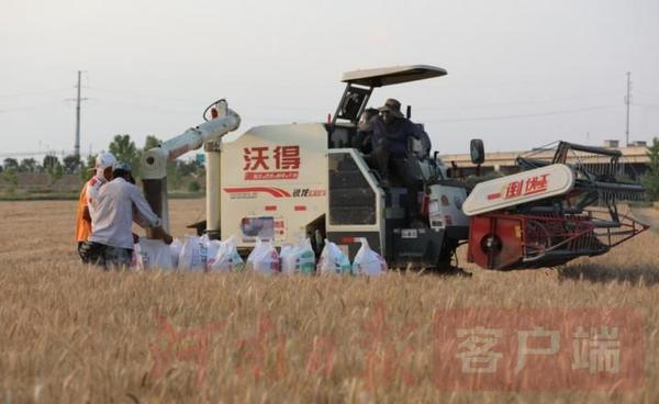 """""""中国弱筋小麦第一县"""" 淮滨县80万亩弱筋小麦开镰收割"""
